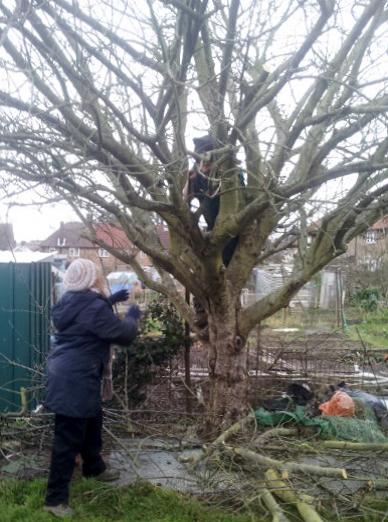 apple-tree-prune how it's done